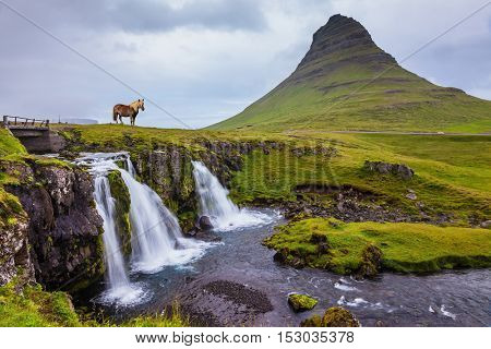 On the coast of powerful falls the well-groomed Icelandic horse is grazed. Foggy day in Iceland