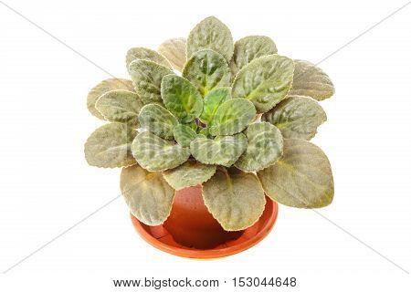 Flower Violet In Brown Pot
