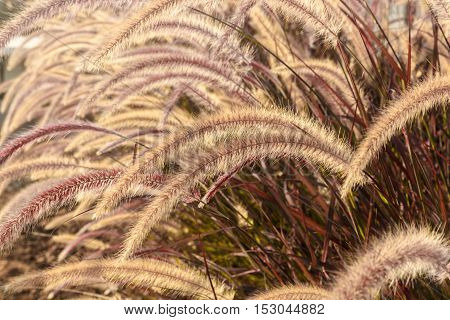 Decorative background of a brown fluffy grass