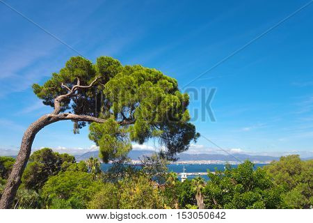 Mediterranean stone pine in Gibraltar with sea and coast of Spain in background.