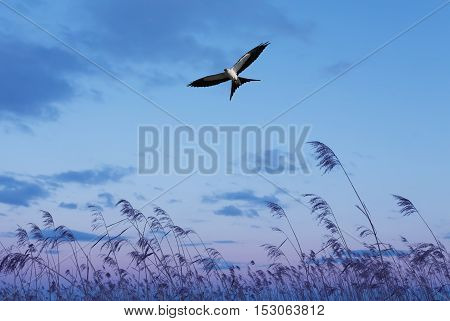 Free flying swallow-tailed kite on blue sky background