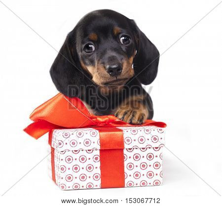 dachshund puppy and a box with a gift