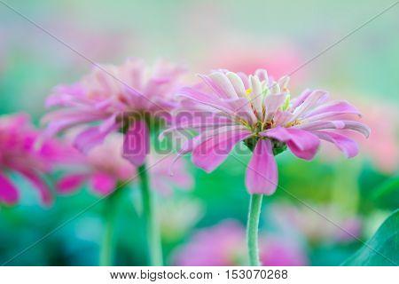 Pink Aster Flower In Flowerbed Garden Sirikit National Garden, Bangkok Thailand