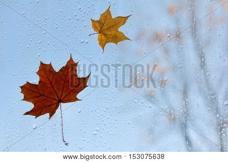 Two maple leaf clinging to the window after the rain against the blue sky / last days of autumn before winter