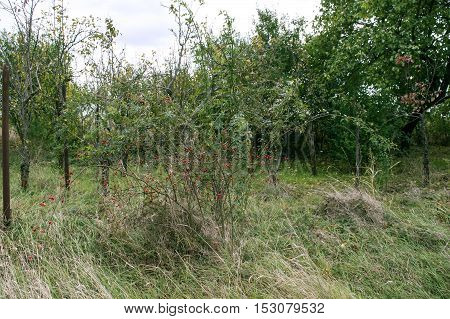 Rosehip tree in the orchard with several trees arround