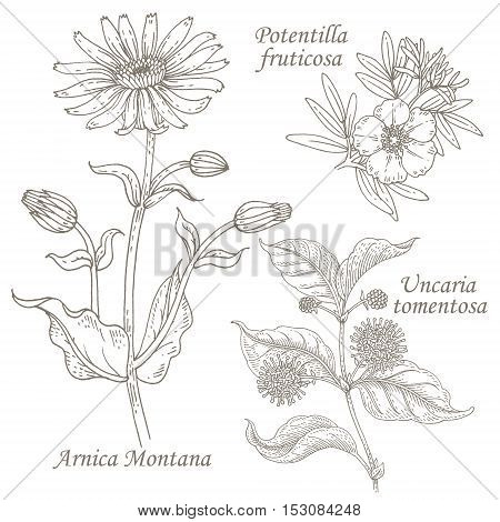 Arnica Montana potentilla fruticosa uncaria tomentosa. Set of illustration of medical herbs. Isolated image on white background. Vector.