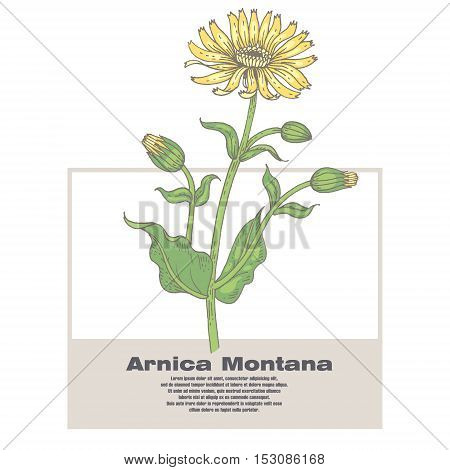 Arnica Montana. Illustration of medical herbs. Isolated image on white background. Vector.