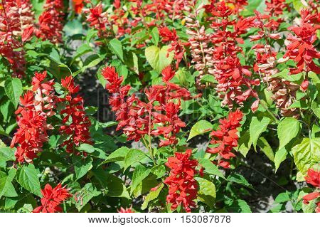 Salvia splendens scarlet sage, tropical sage close up
