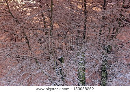 Snow clung to branches of bare trees in the early evening after a winter snowfall