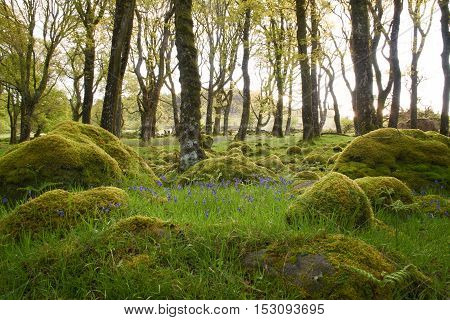 Bluebells bathing in the morning sun surrounded by mossy forest