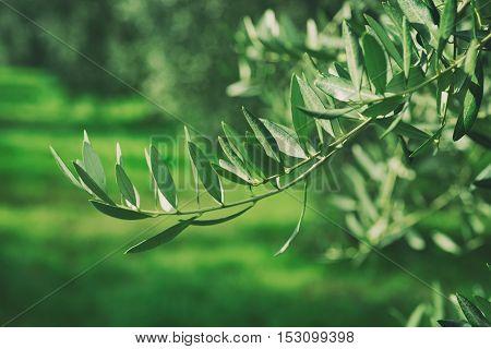 Olive tree with leaves, natural agricultural vintage hipster food background