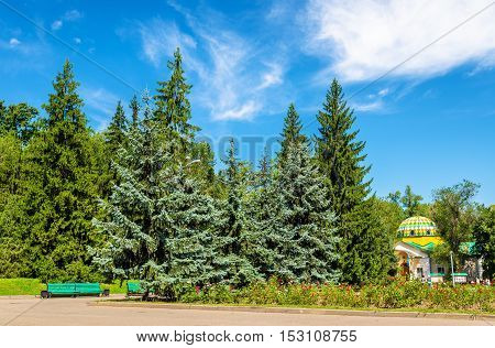 Blue spruces in Panfilov Park of Almaty, Kazakhstan poster