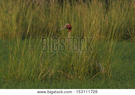 Greater Noida, Uttar Pradesh, India- September 7, 2013: Male Indian Crane, Grus Antigone (Linnaeus) guarding the nest at Greater Noida, wetland area, Uttar Pradesh, India.