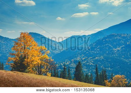 Autumn in the Carpathian mountains. Bright yellow tree on the blue mountans background