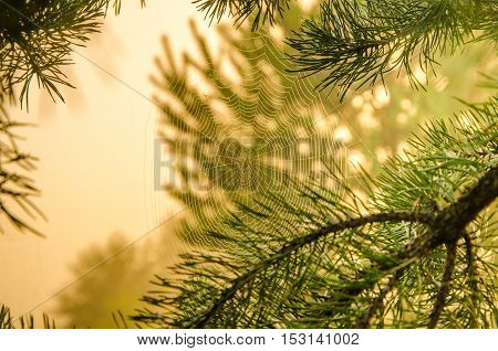 Wide Web plays in the wind. thick morning mist in coniferous forest. pine needles in a thick morning fog. thick fog covered with thick coniferous forest. forest with a bird's eye view .