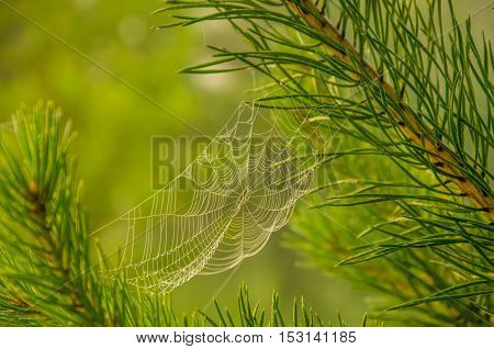 Wide Web plays in the wind. thick morning fog in the summer forest. thick morning fog in the forest at pond. Morning landscape in summer thick fog. dense fog in the morning.  early morning.