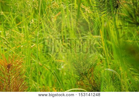 thick morning mist in coniferous forest. pine needles in a thick morning fog. thick fog covered with thick coniferous forest. forest with a bird's eye view .  Wide Web plays in the wind