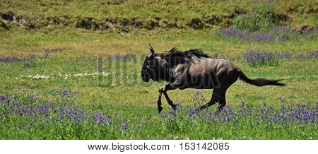 Gnu running through a meadow with blue wild flowers
