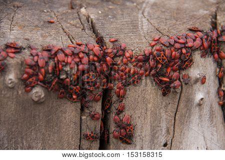 Pyrrhocoris apterus or Bedbugs-soldiers on a tree, red-black beetles.