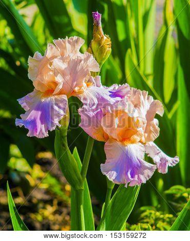 iris flowers. Purple iris in garden blue and purple colored iris flowers