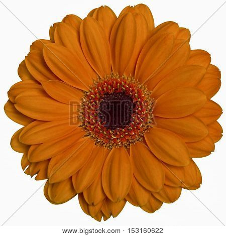 flat lay of orange gerbera isolated over white