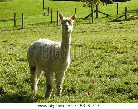 Captive Llama at the bottom of Denne Hill in Horsham West Sussex