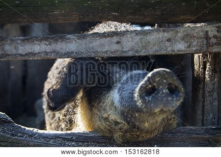 Close up view of the pig's snout