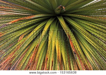 Puya Raimondi bromelia close in the peruvian cordillera blanca, the highest and biggest bromelia that exists