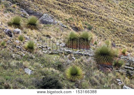 Puya Raimondi bromelia in the peruvian cordillera blanca, the highest and biggest bromelia that exists