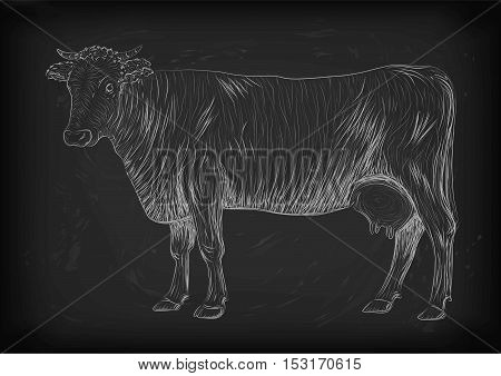 Cow calf bull cute muzzle animal mammals living full-length entire. Vector vertical closeup side view outline chalk white sign nice signboard icon logo sketch illustration on black board background