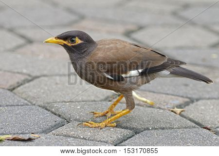 Common Myna Acridotheres tristis Birds of Thailand