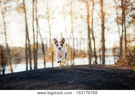 Jack Russell Terrier runs and looks forward. Active and obedient dog outdoors in autumn season