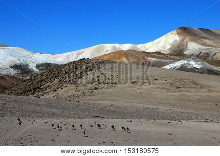 Vicunas in moon valley of the andean mountains Peru
