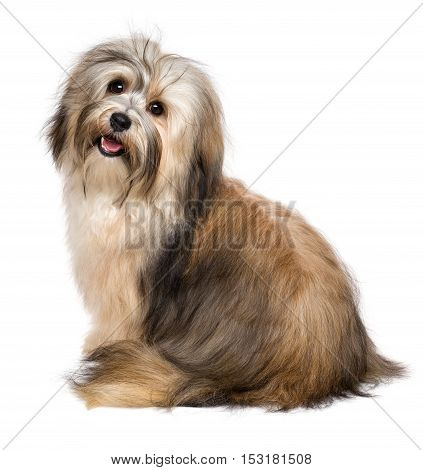 Beautiful happy young Bichon Havanese dog from behind looking at camera - isolated on white background