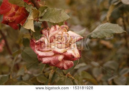 Red and creamy rose dying in autumn garden. Wilted rose. Sad fall mood. Vintage low saturated colors. Copyspace. Selective focus.