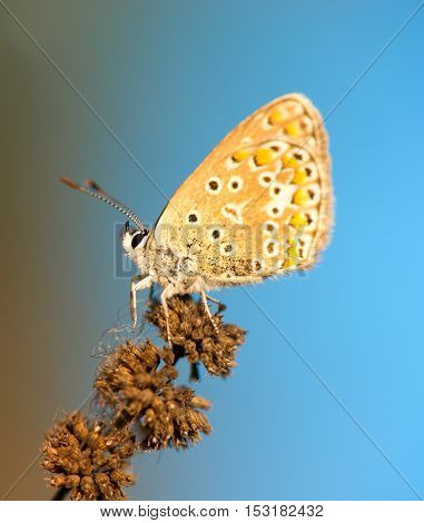 Common Blue (Polyomathus icarus) butterfly on dried plant