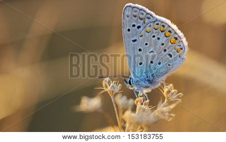 butterfly outdoor (polyommatus icarus) in the sunset light