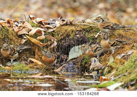 flock of finches on watering, autumn wood, fallen leaves, birds drink water, birds drink water puddle autumn, fallen leaves, colorful leaves, bird migration
