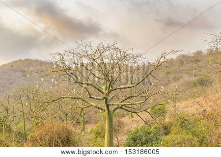 Exotic Tree At Meadow Santa Elena Ecuador