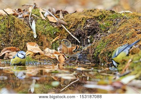 Two different types of birds in the autumn watering, birds drink water puddle autumn, fallen leaves, colorful leaves, bird migration
