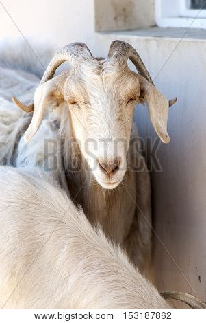 Goat Close-up in a Hacienda - Puerto Madryn - Argentina