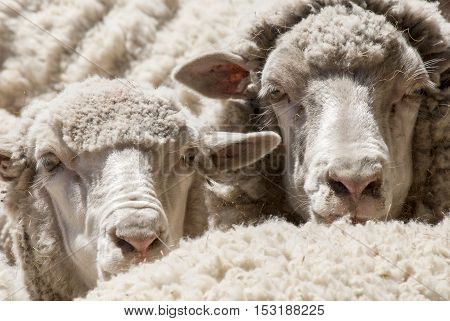 Sheeps Close-up in a Hacienda - Puerto Madryn - Argentina
