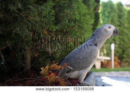 African grey parrot stands proud in garden