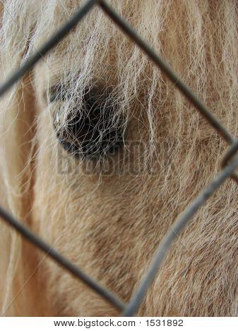 Long Haired Pony Eye