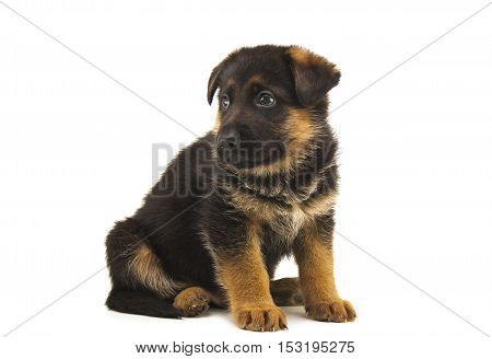 cute sheepdog puppy isolated on white background
