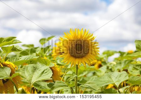 Sunflowers on flower field and blue sky