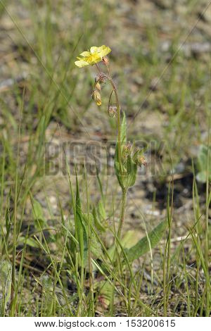 Spotted Rock-rose - Tuberaria guttata Whole plant unspotted form