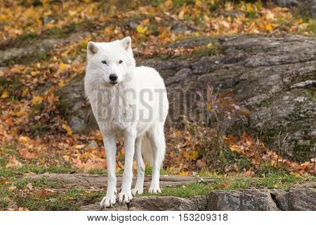 An Arctic Wolf in a fall scene