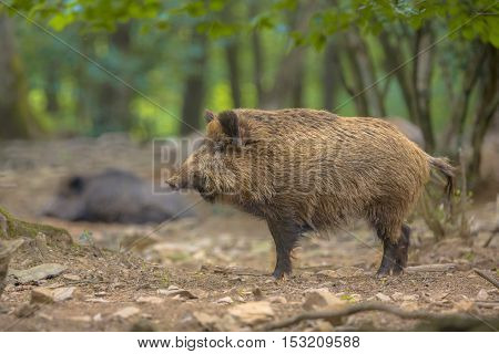 Wild Boar In The Forest