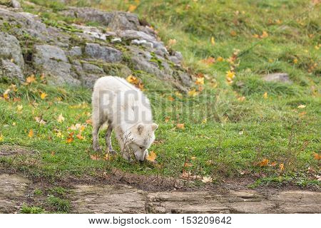 Arctic Wolves in a fall, forest scene